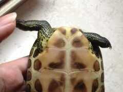 烏龜脫水恢復要多久,應怎麼急救?