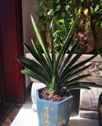3分鐘學會君子蘭四季澆水法,葉子綠出油,花開一大盆