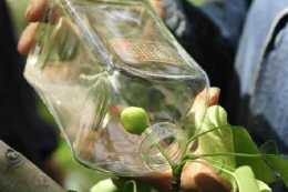 """""""梨酒""""中的梨子,到底是怎麼進瓶子的?網友:今天總算弄明白了"""