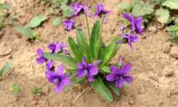 """荒地裡的""""小紫花"""",誰說是雜草我跟誰急,當盆栽多好!"""