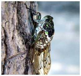蟬這種生物基於自身存在於自然有何意義?它是不是一種害蟲?