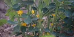 花生莢果生長期,促進飽果,農戶掌握3個技巧,才能高產