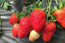草莓出現早衰症狀,先不要著急,對應措施在這裡
