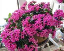 立秋後養長壽花,需要加強這幾個方面的養護,花期開花啊