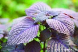可食用也可作為藥材的紫蘇,與食材搭配製作的美食,口感非常好