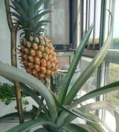 花盆裡種菠蘿的實操經驗,好玩又好吃!