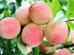 想讓桃子的鮮味佈滿整個夏天嗎?桃片烘乾機能做到保留原汁原味。