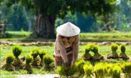 水稻插秧期,如何預防早衰?這些技巧你要知道,轉給新手的朋友們!