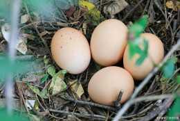農村家禽養殖母雞篇