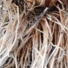 水稻生長所需的營養主要是依靠根系吸收的,主要取決於三條:. . .