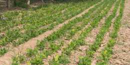 花生苗期葉片發黃,是病害還是缺肥?農戶可以提前預防