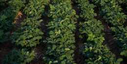 花生葉面肥怎麼用?農戶掌握3個技巧,省肥,長勢好